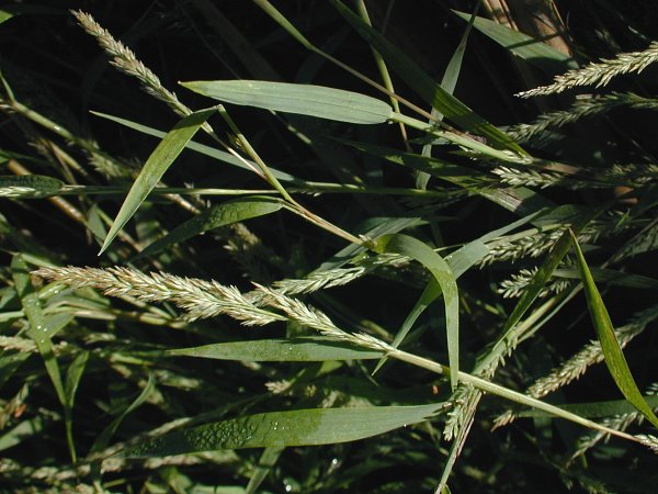 Agrostis frondosa image