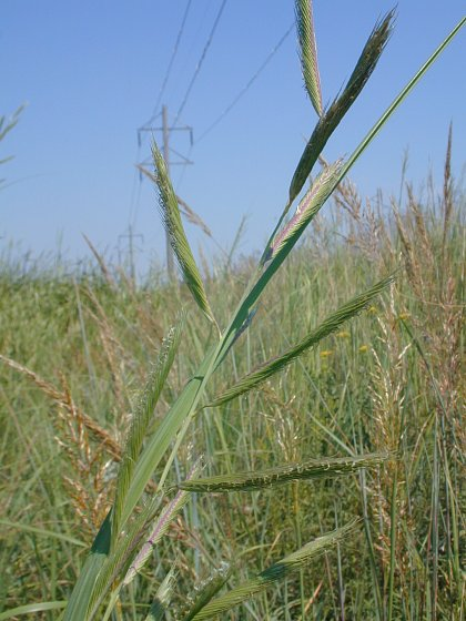 Image of Spartina pectinata
