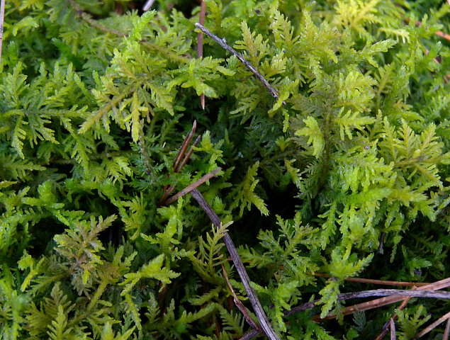 Common Fern Moss Thuidium Delicatulum