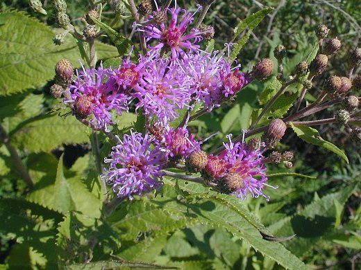 Image of Vernonia baldwinii