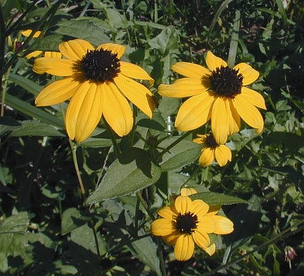 Rudbeckia triloba image