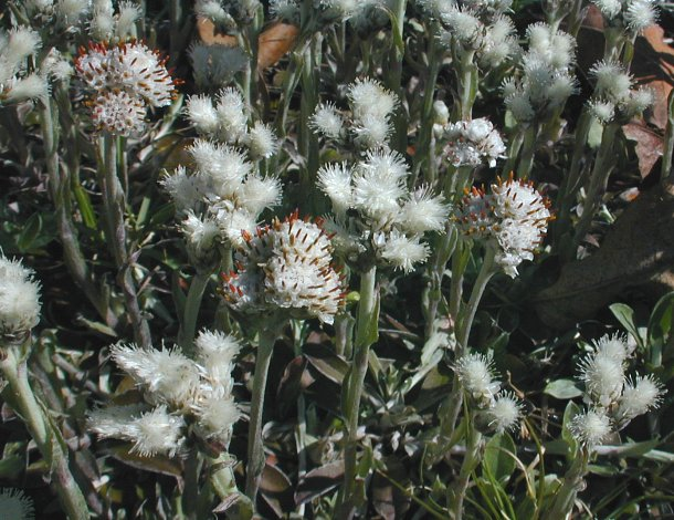 Image of Antennaria neglecta