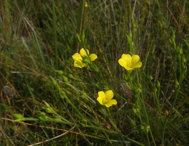 Grooved yellow flax linum sulcatum individual flowers occur at the tips of the pedicels usually only one or a few flowers bloom at the same time each flower is about 13 mm mightylinksfo