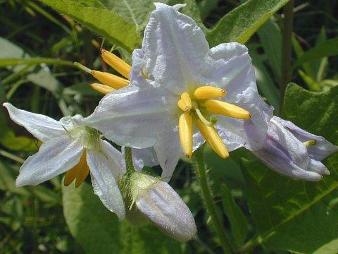 Solanum carolinense (Carolina nightshade): Go Botany