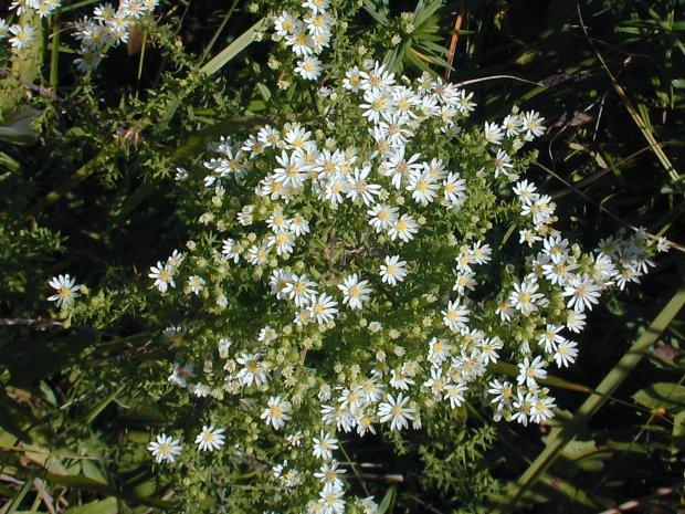 Heath aster symphyotrichum ericoides cultivation mightylinksfo