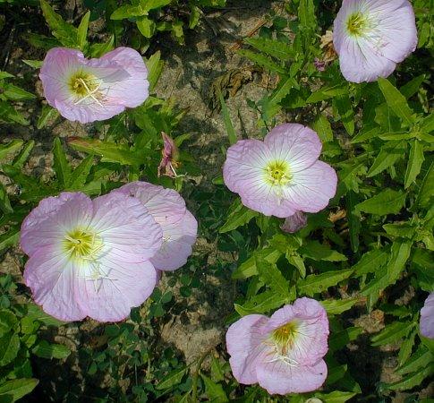 Showy evening primrose oenothera speciosa about 1 3 flowers mightylinksfo