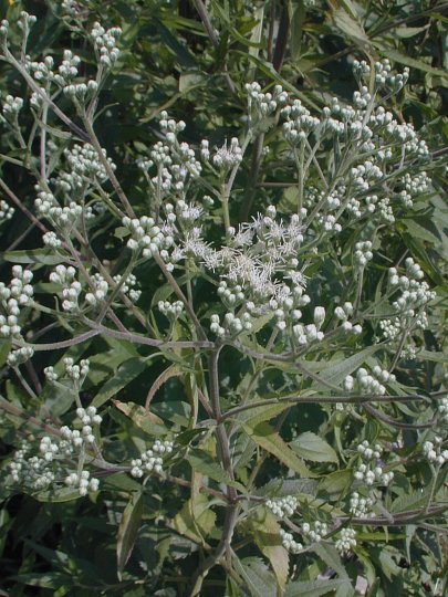 Tall boneset eupatorium altissimum cultivation mightylinksfo