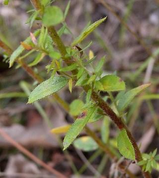 Pinweed