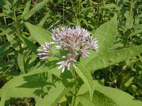 Sweet Joe-Pye Weed (Eutrochium purpureum)