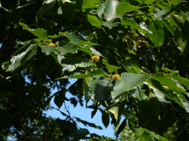 American Beech is monoecious; both male (staminate) and female (pistillate) ...