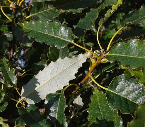 Chinquapin mature size trees