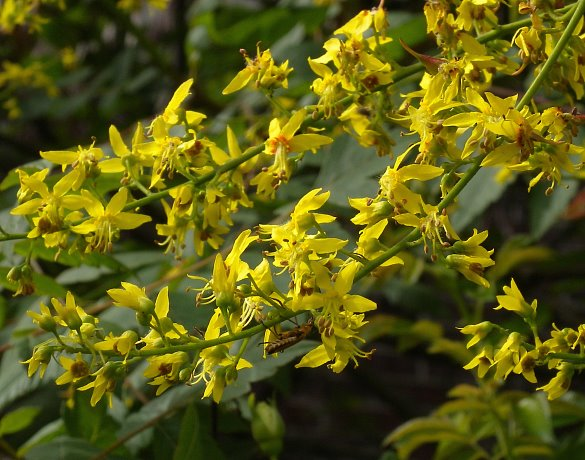 Golden Rain Tree Koelreuteria paniculata