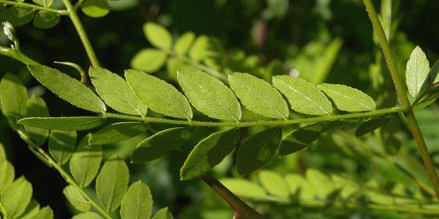 Honey Locust (Gleditsi...