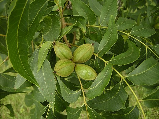 Image result for Pecans – Carya illinoinensis