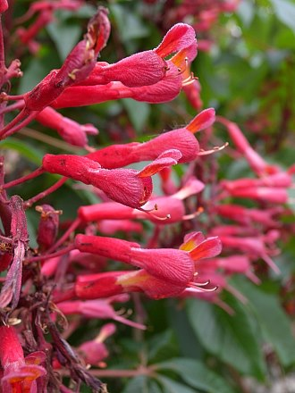 Red buckeye aesculus pavia mightylinksfo