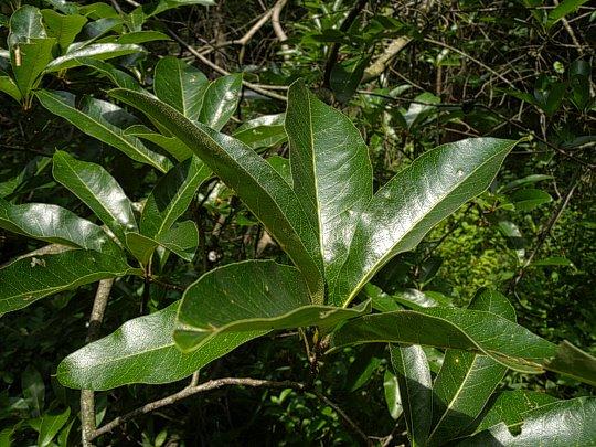 Shingle Oak Flower