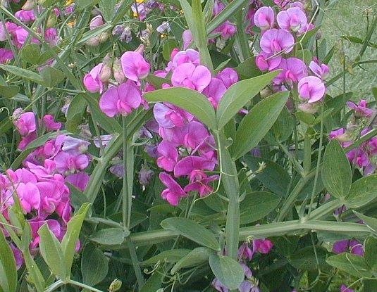 everlasting pea lathyrus latifolius, Natural flower