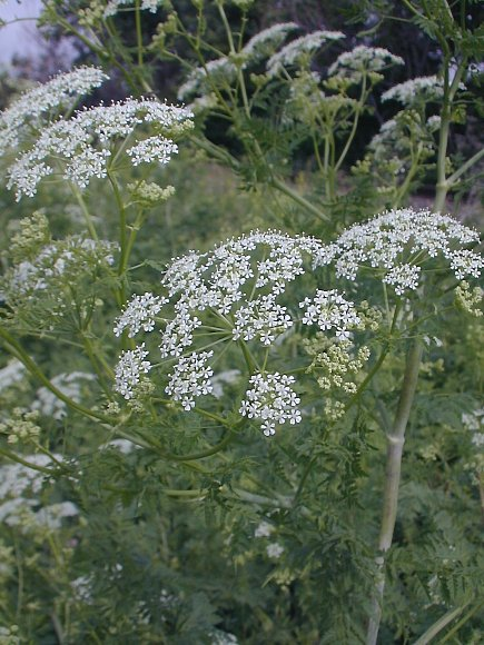 Poison hemlock conium maculatum the upper stems terminate in compound umbels of small white flowers mightylinksfo Choice Image