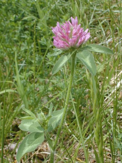 Red clover trifolium pratense the blooming period usually occurs from late spring to mid summer and lasts about 1 2 months however a few plants may bloom later in the summer or fall mightylinksfo