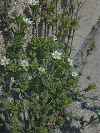 Thyme Leaved Sandwort
