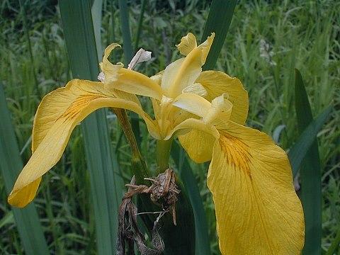 yellow iris iris pseudacorus, Natural flower