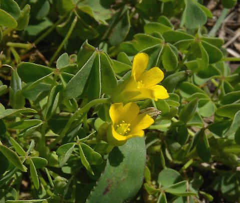 Yellow wood sorrel oxalis stricta each flower consists of 5 yellow petals 5 light green sepals 10 stamens and a pistil the 5 styles of the pistil are joined together except at their mightylinksfo