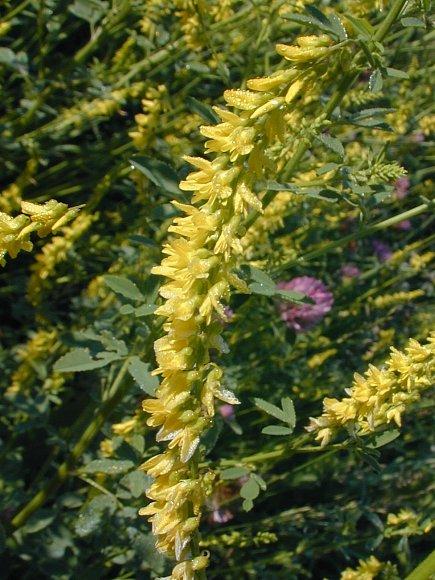 Yellow sweet clover melilotus officinalis photographic mightylinksfo