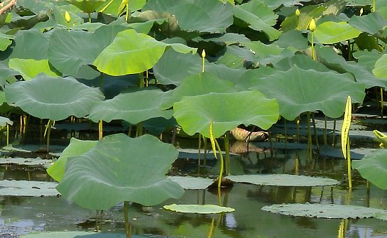 American lotus nelumbo lutea flowers mightylinksfo