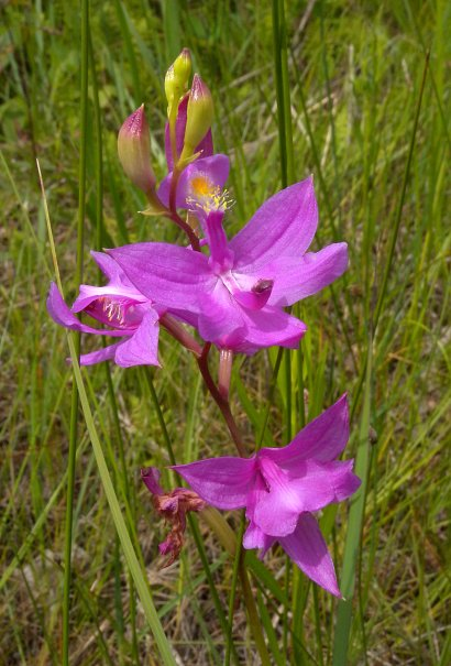 Grass pink orchid calopogon tuberosus the mightylinksfo