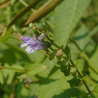 Image of Scutellaria lateriflora