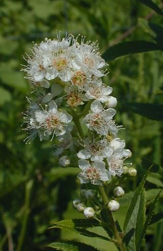 Meadow Sweet (Spiraea alba)