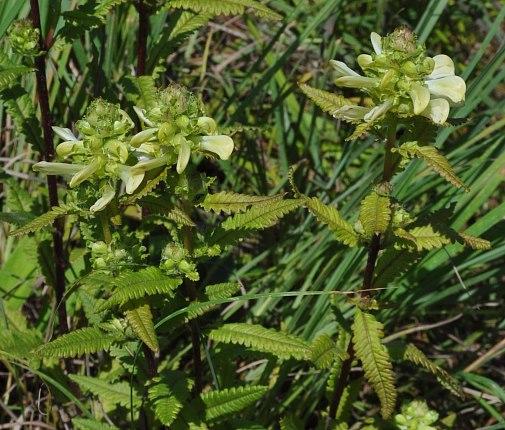 Swamp Lousewort (Pedicularis lanceolata)