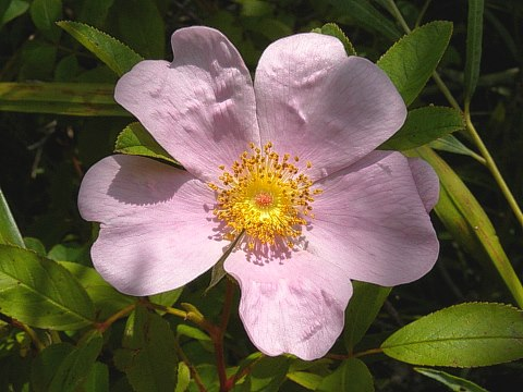 Swamp rose rosa palustris the mightylinksfo