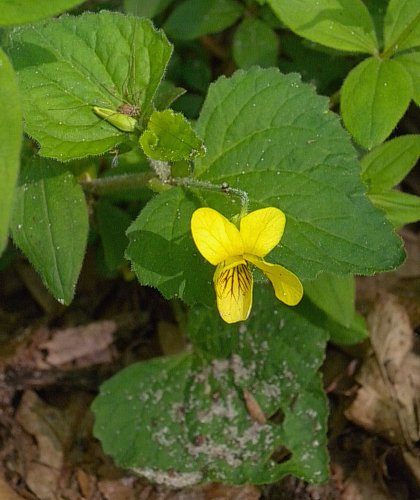 Hairy yellow violet viola pubescens pubescens individual flowers are produced from the axils of alternate leaves each flower spans about across consisting of 5 yellow petals 5 light green sepals mightylinksfo
