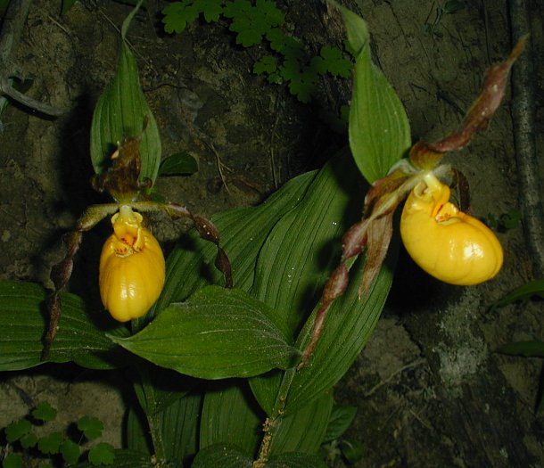 Yellow ladys slipper orchid cypripedium pubescens the mightylinksfo