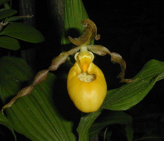Yellow ladys slipper orchid cypripedium pubescens faunal associations the showy flowers mightylinksfo