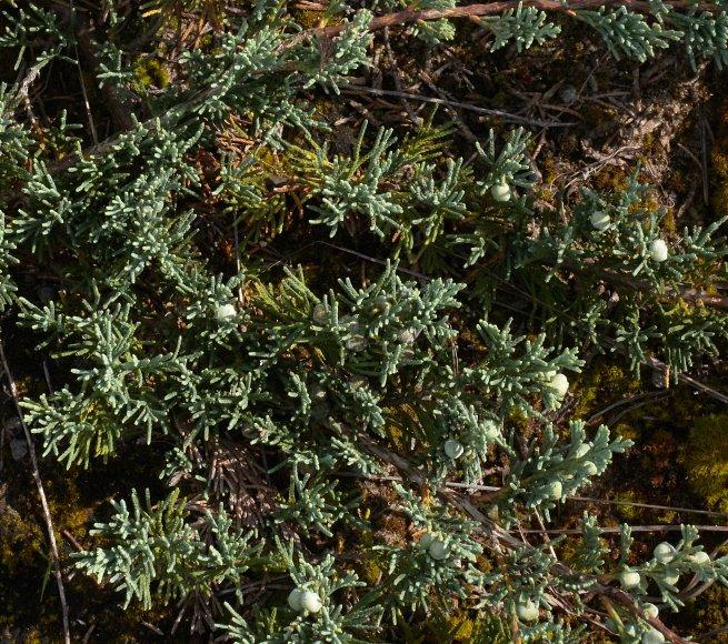 Creeping Juniper Juniperus Horizontalis