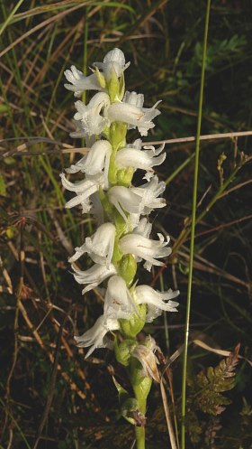 Nodding Ladies Tresses Orchid Spiranthes Cernua