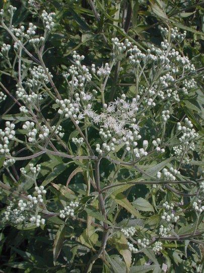 Tall boneset eupatorium altissimum cultivation mightylinksfo