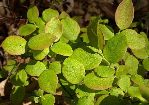 Hillside Blueberry (Vaccinium pallidum)