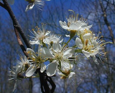 Wild Plum Prunus Americanus