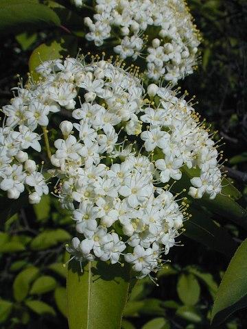 Blackhaw Viburnum Viburnum Prunifolium