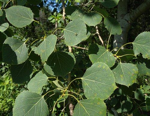 Populus tremuloides QUAKING ASPEN TREE Seeds!