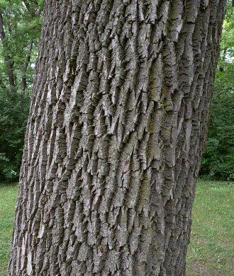 Red Ash (Fraxinus pennsylvanica pennsylvanica)