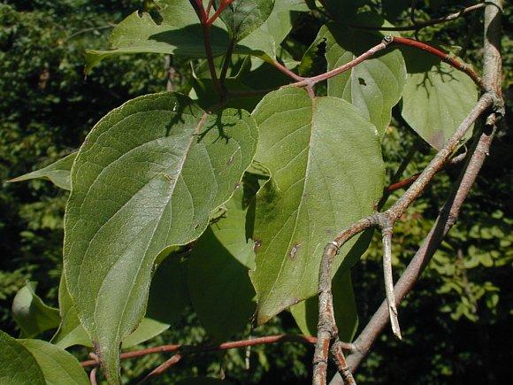 Rough Leaved Dogwood Cornus Drummondii