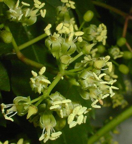 Virginia Creeper Parthenocissus Quinquefolia,White Cloud Mountain Minnow Fry