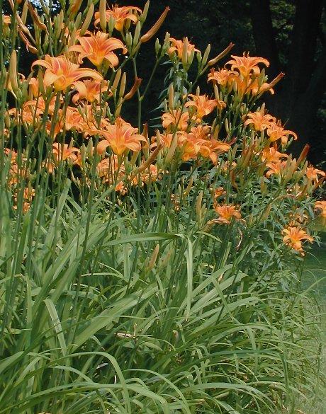 Orange Day Lily Hemerocallis Fulva