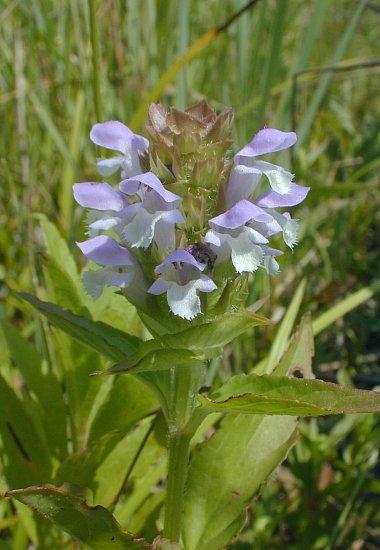 Self-Heal (Prunella vulgaris elongata)