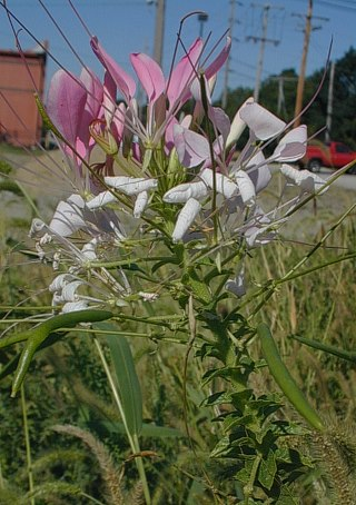 Spider Flower Cleome Hassleriana