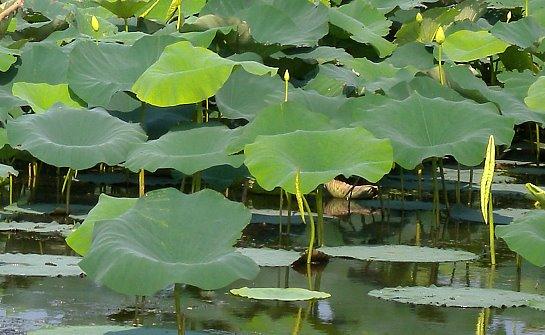 american lotus nelumbo lutea